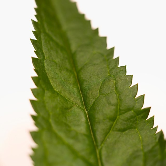 Close up of Nettle.