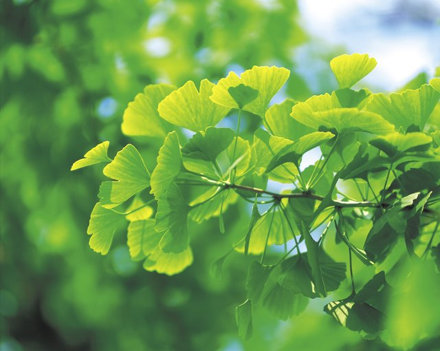 Gingko leaves.