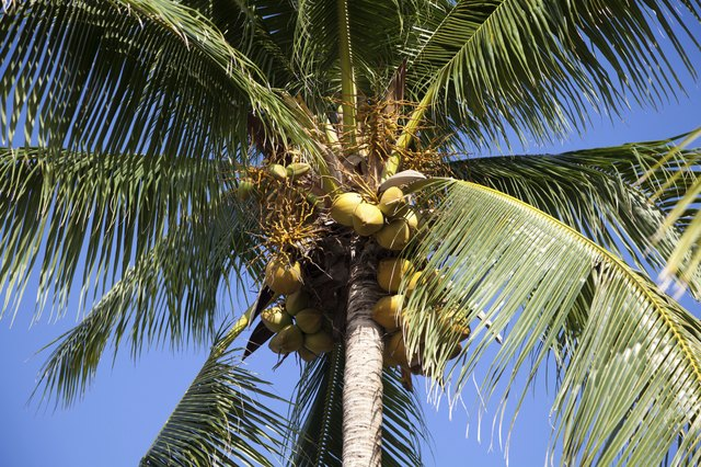 Coconut water may be used as an antiviral compound.