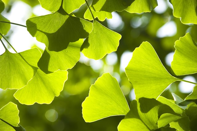 An extract from the leaf of the gingko tree can help alleviate sexual dysfunction.