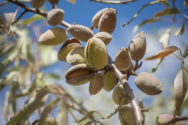 Almonds grow on a tree.