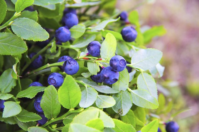 blueberries on bush