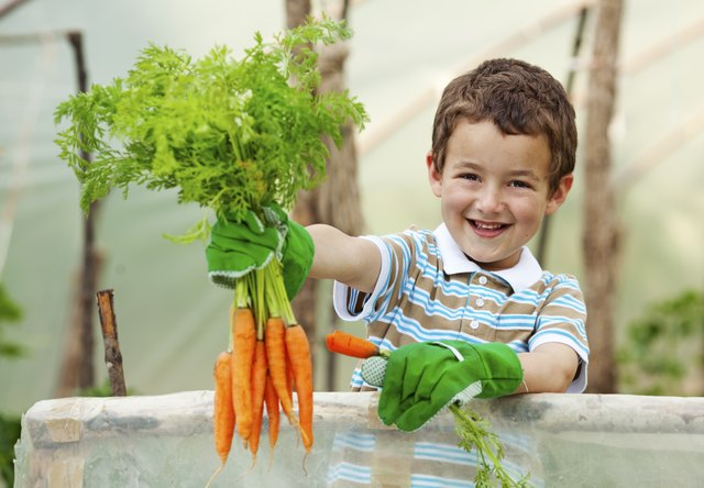 Little boy holding freshly picked carrots