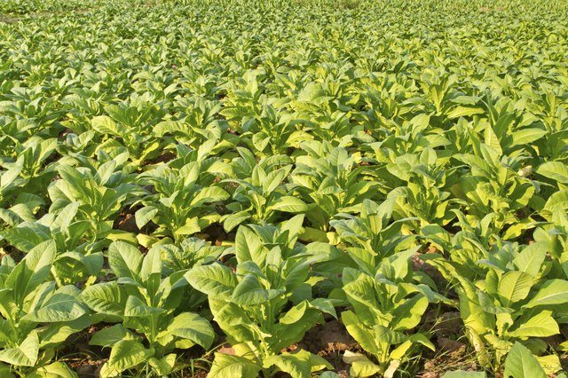 Field of tobacco plants
