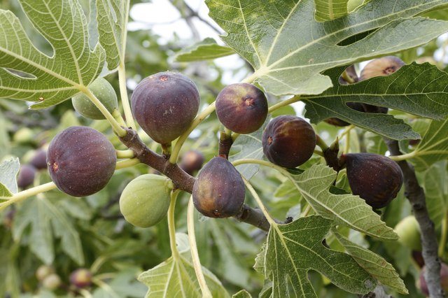 Ripe figs on a tree.