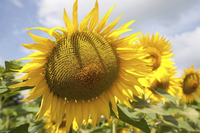 Sunflower seeds are also high in fat.