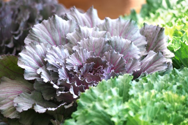Kale grows in a garden.