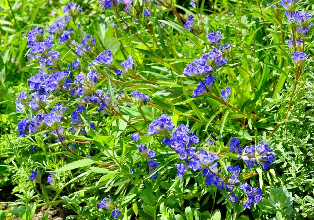 Gentian might promote appetite.