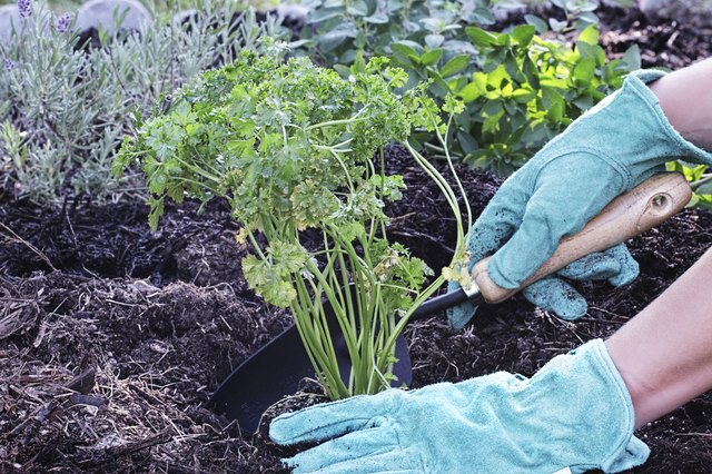 woman planting parsley plant