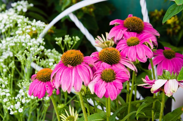 Echinacea is extracted from the flowers and roots of the purple coneflower.