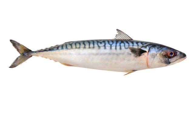 Mackerel fish.