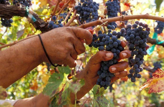 Polyphenols also are present in high concentrations in black grapes.