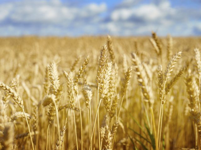 Grains such as wheat and barley contain gluten.