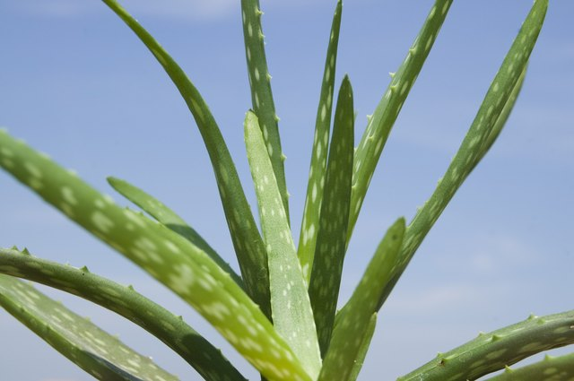 Use fresh aloe from the plant for best results.