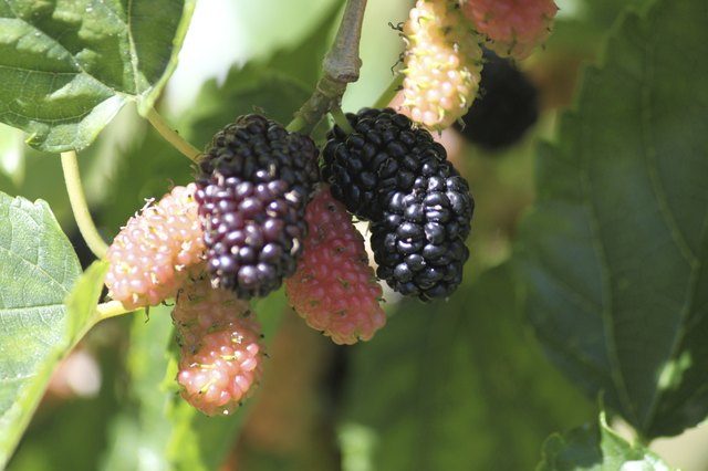 mulberry fruit growing on tree