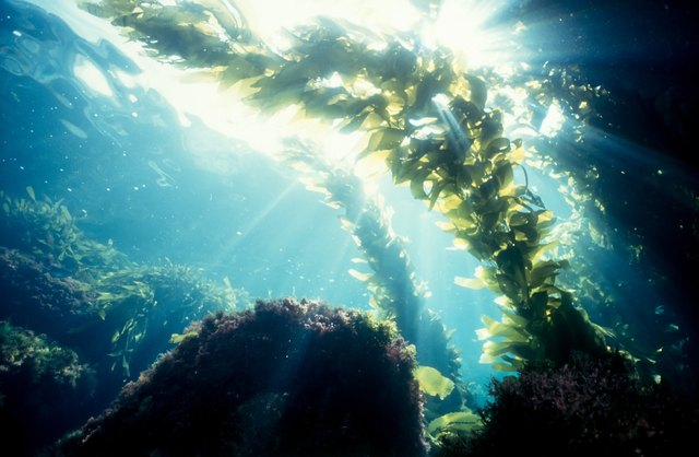 Seaweed absorb minerals in the ocean.