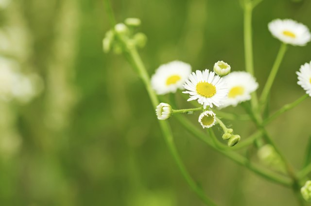 Chamomile flowers can help relax muscles.