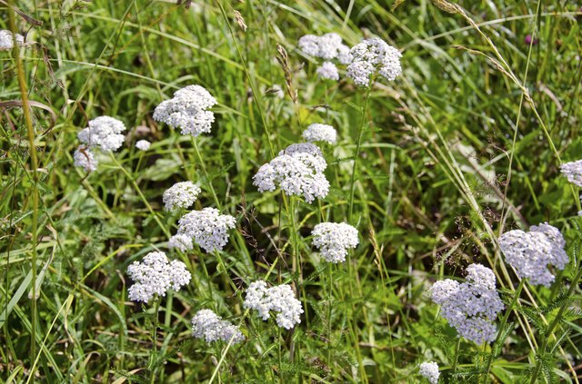 Yarrow helps your heart.
