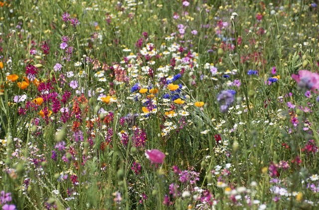 field of wild flowers that cause allergies