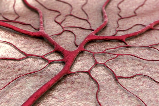Circulatory system blood vessel