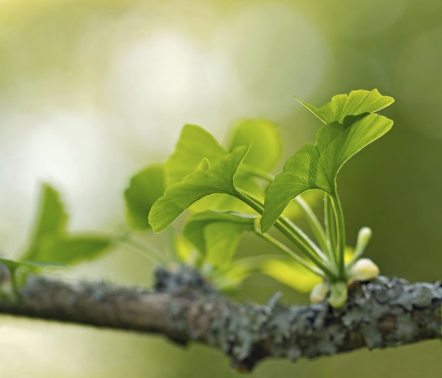 Gingko biloba leaves.