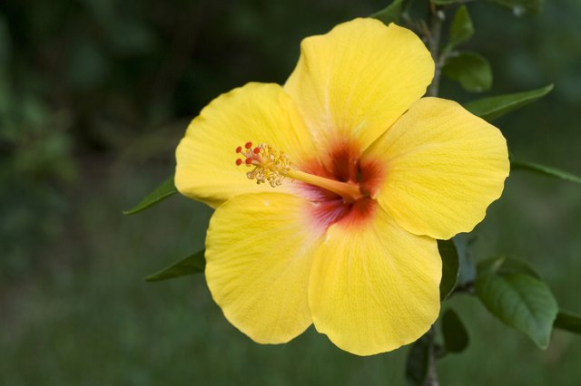 Hibiscus tea may also help lower cholesterol levels.
