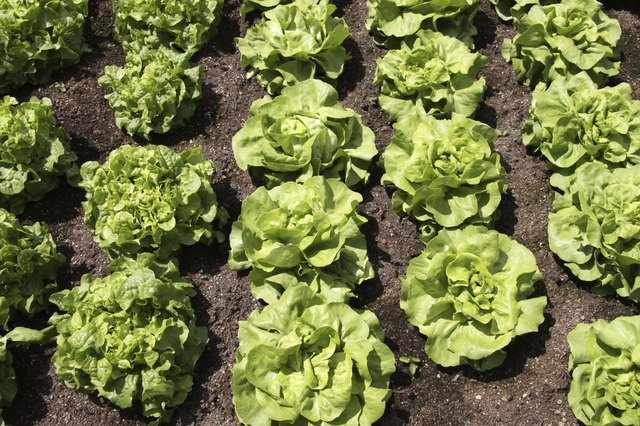 Butterhead lettuce growing in soil