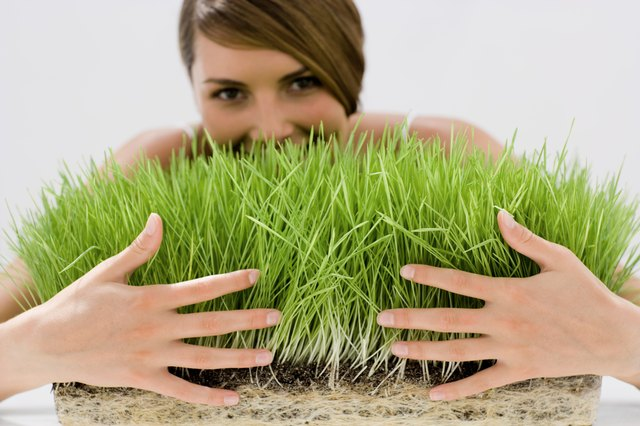 Wheat grass is a source of chlorophyll.