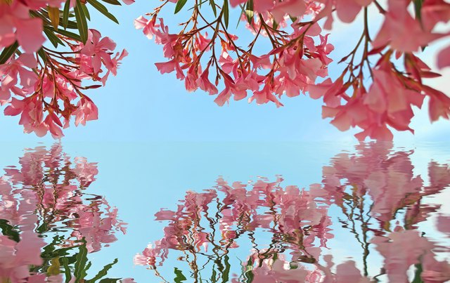 Pink oleanders reflected in water