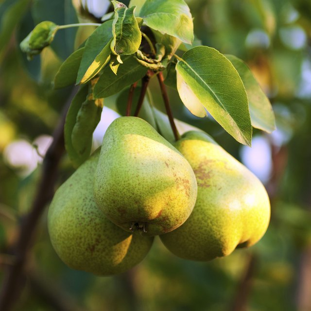 Pears growing on a tree.
