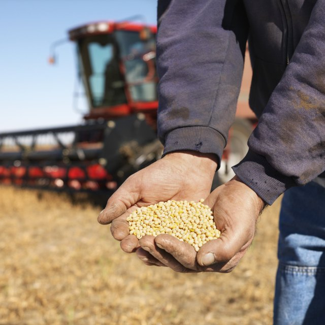 Farmer holding soybeans in field