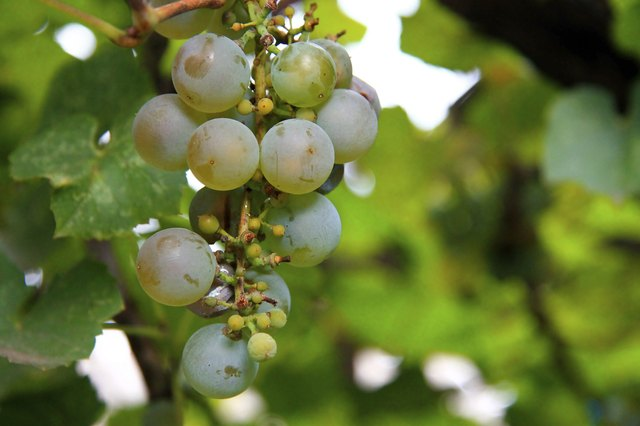 white grape bunch ready for harvest