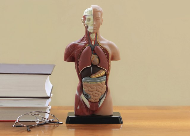 An anatomical model on a desk with text books and a pair of eye glasses.