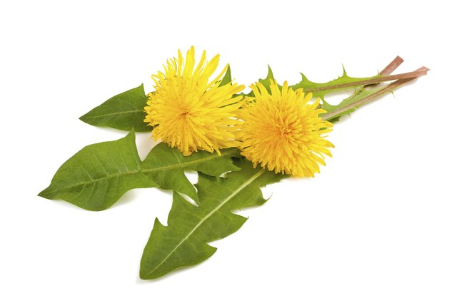 Dandelion can be eaten raw or cooked.