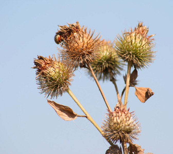 Burdock is infamous for its clingy burs.