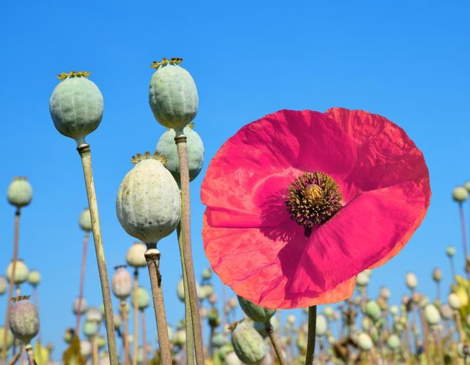 An overview of the anatomical research in medicine and the use of opium in interventions