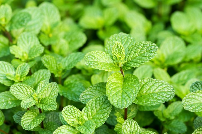 Is Peppermint a Diuretic?