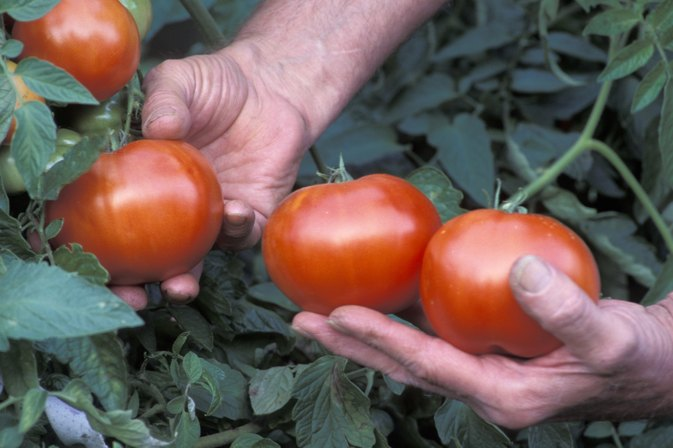 Sodium Content of Fresh Tomatoes