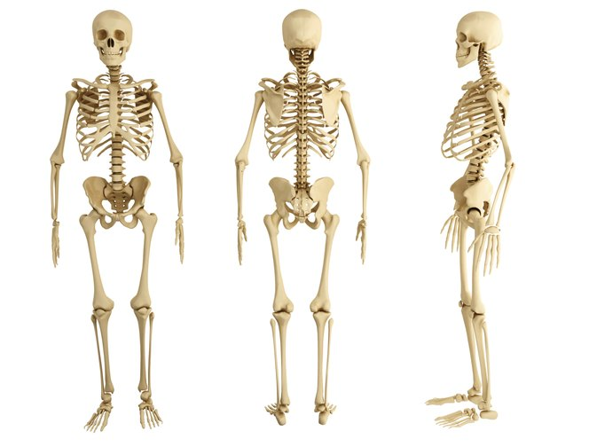 Why Are Bones Important to the Body? | LIVESTRONG.COM