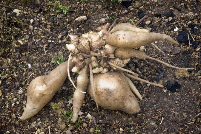 Yacon Root: Health Benefits & Side Effects