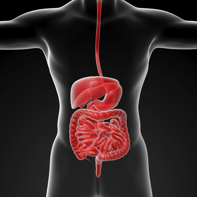 How Does the Liver Function in the Digestive System?