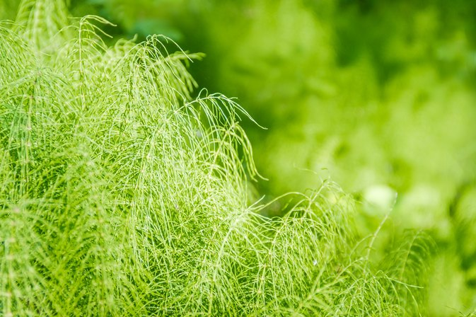 What Are the Benefits of Horsetail Grass?