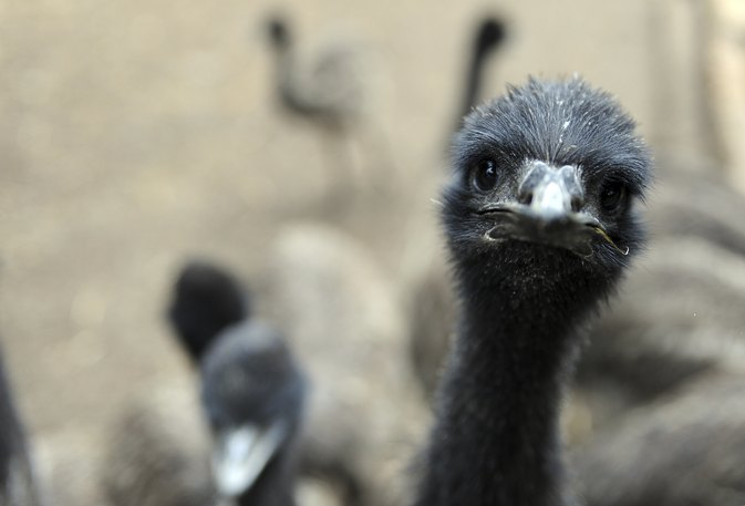 How Is Emu Oil Made?