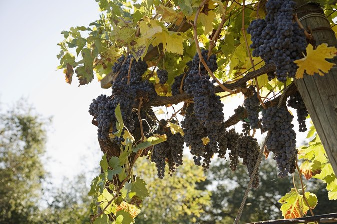 Black Seedless Grapes Nutrition