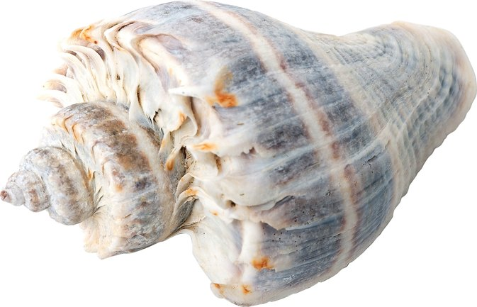 How to Cook Whelks