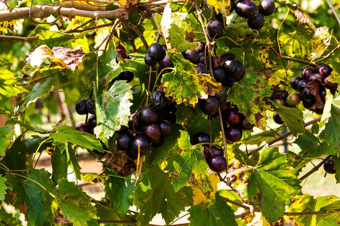 Health Benefits of Muscadine Grapes