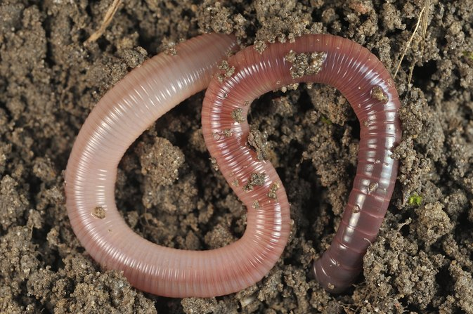 Worms As a Food Source for Humans