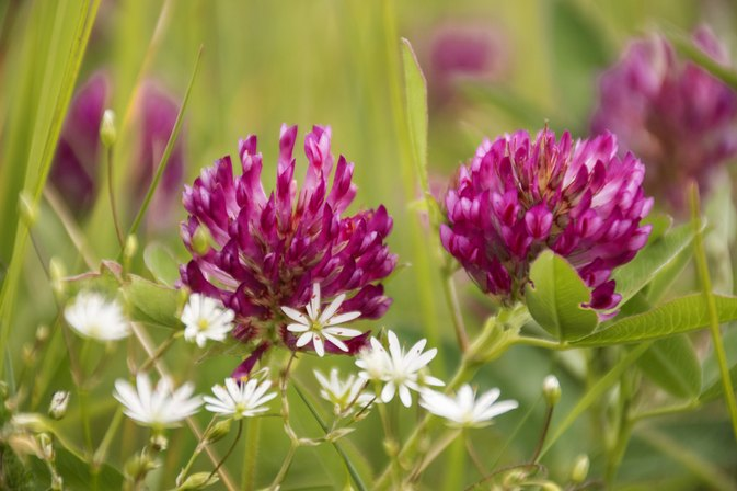 What Are the Benefits of Taking Red Clover Herb Pills?