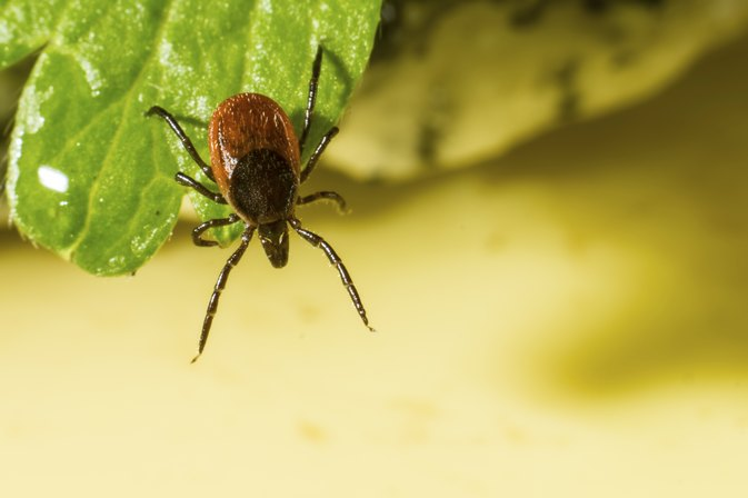 Flu-Like Symptoms After a Tick Bite