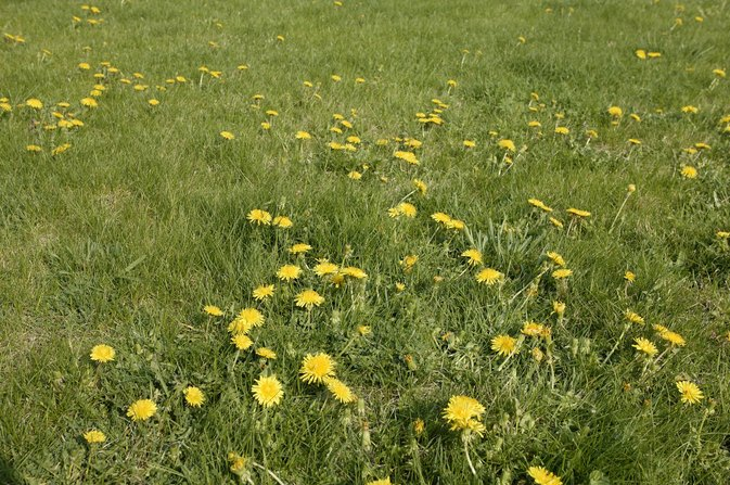 Can You Eat Dandelion Flowers?